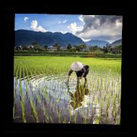 Paysan vietnamien dans une rizière