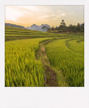 Rizière dans une réserve naturelle du Vietnam.