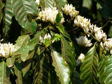 fleurs de café.