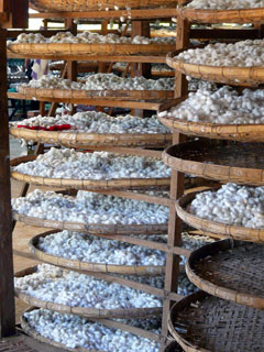 cocon de vers à soie.