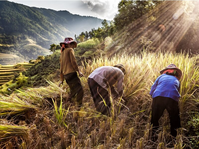 vietnam moisson rizière terrasse.