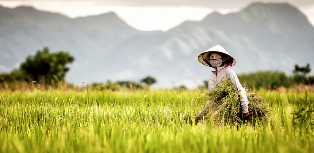 Femme vietnamienne dans une rizière.