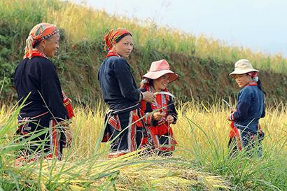 femmes récoltant riz.